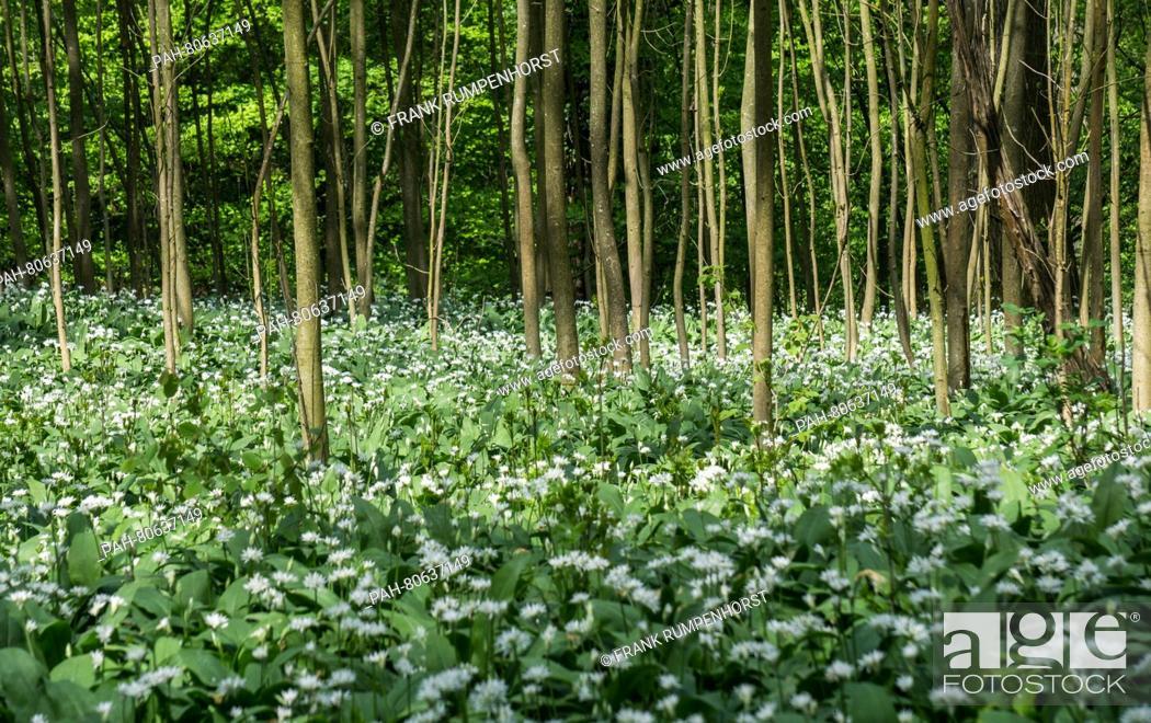 Stock Photo: Wood garlic growing in the city forest of Bad Vilbel, Germany, 01 May 2016. Photo:FRANKRUMPENHORST/dpa | usage worldwide. - Bad Vilbel/Hesse/Germany.