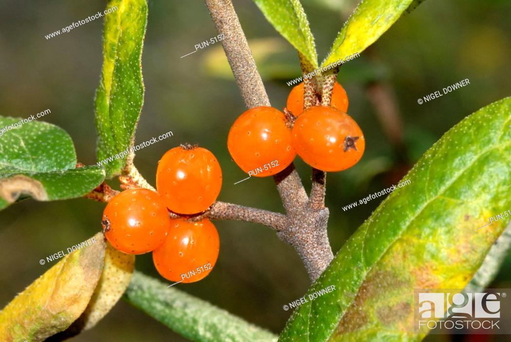 Stock Photo: Canadian buffaloberry or soapberry Shepherdia canadensis Orange berry form A favourite food for animals, such as grizzly and black bear.