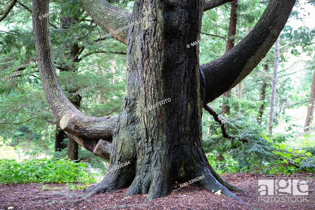 Stock Photo: Arnold Arboretum, Jamaica Plain, Boston, Massachusets, United States.