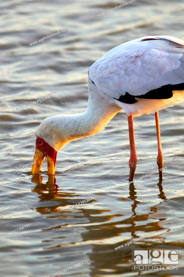 Stock Photo: Yellowbilled Stork Mycteria ibis, fishing, Kruger National Park, South Africa.