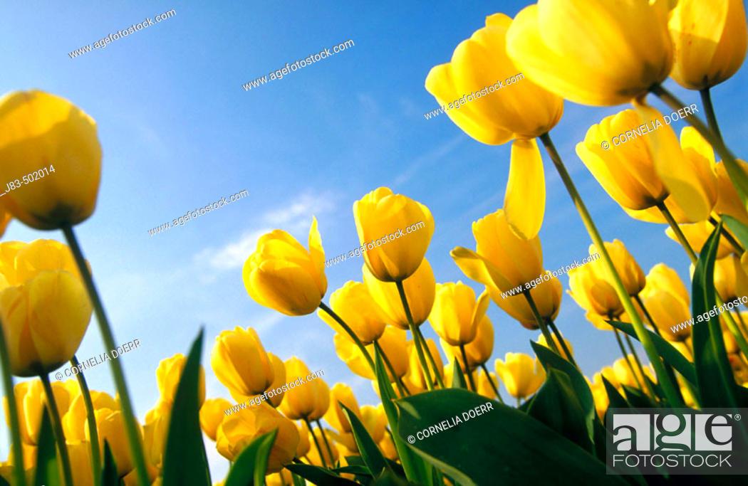 Stock Photo: Yellow tulips field, Keukenhof garden. Lisse, The Netherlands.