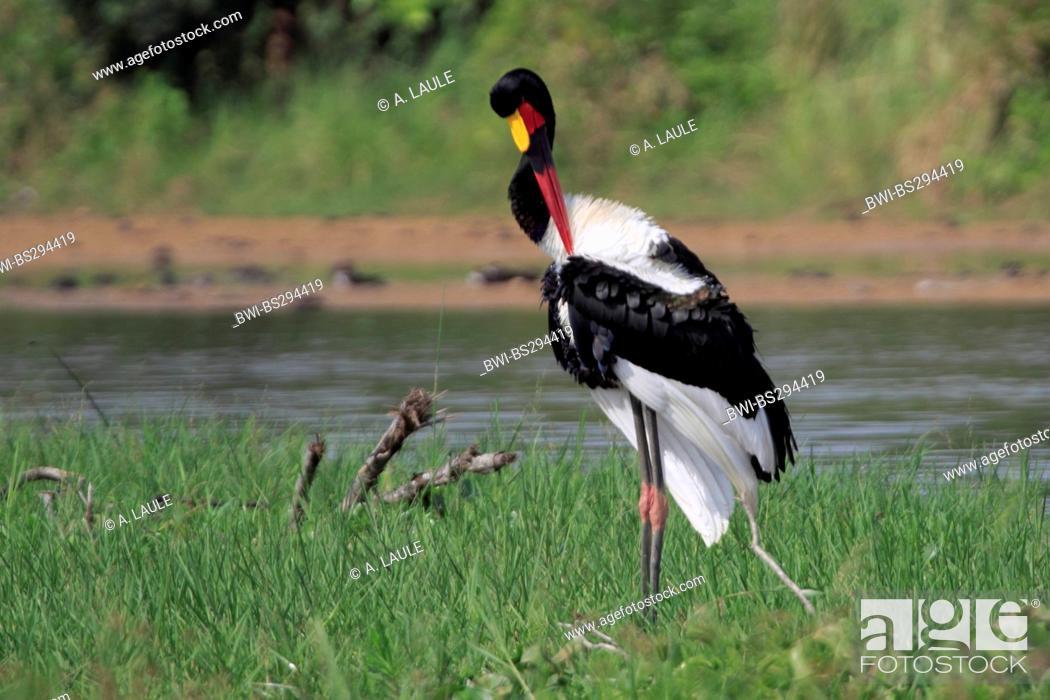 Stock Photo: saddle-bill stork (Ephippiorhynchus senegalensis), in a meadow on the waterfront preening, Uganda, Murchison Falls National Park.