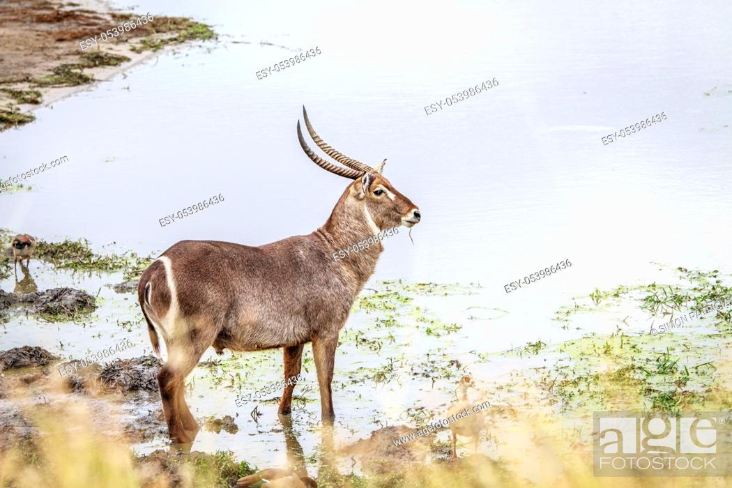 Stock Photo: Male Waterbuck at a waterhole in the Kruger National Park, South Africa.