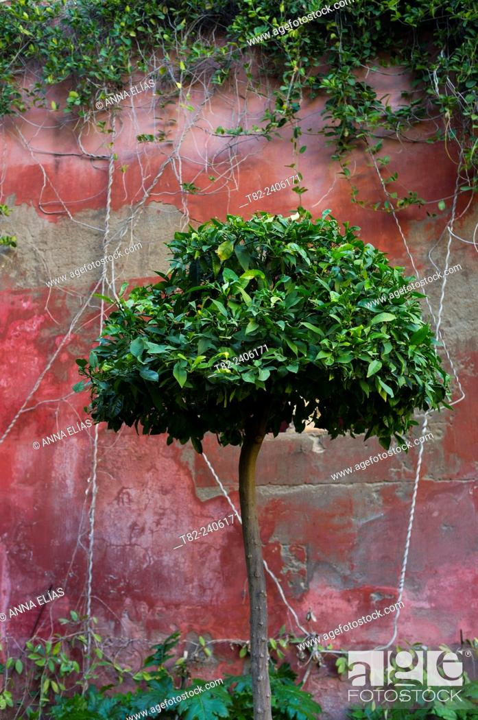 Stock Photo: pruned vines and orange on red wall, Seville, Andalucia, Spain, Europe.