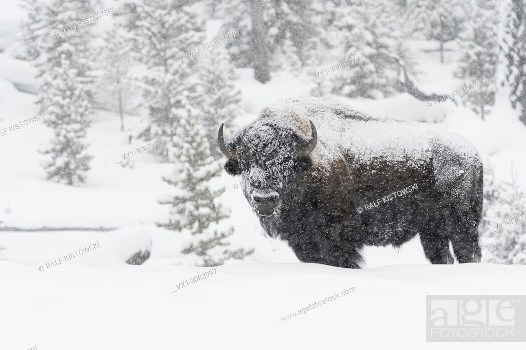 Stock Photo: American Bison ( Bison bison ) in winter, old bull covered with snow during heavy snowfall, Yellowstone, Wyoming, USA.