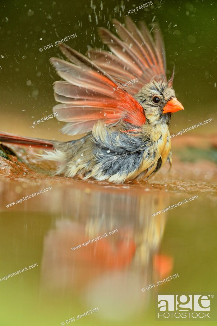 Stock Photo: Northern Cardinal (Cardinalis cardinalis) Female Bathing at the waterhole, Rio Grande City, Texas, USA.