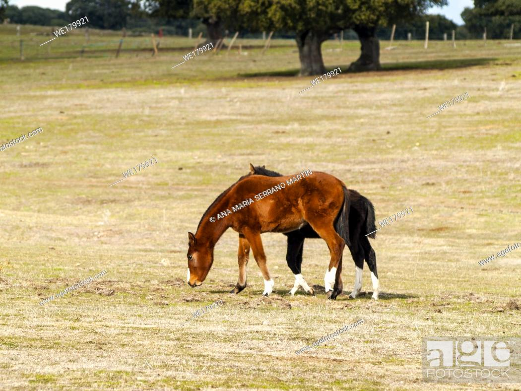 Stock Photo: A brown horse and a black colt in the dehesa in Salamanca (Spain). Ecological extensive livestock concept.