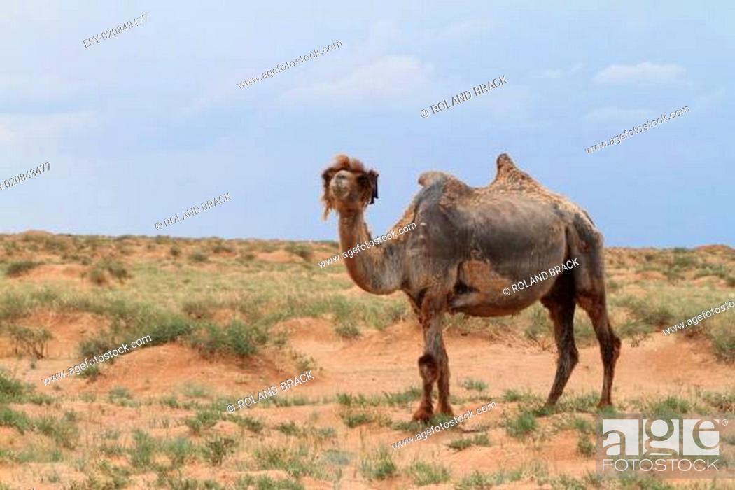 Stock Photo: Kamele in der Wüste Gobi Mongolei.