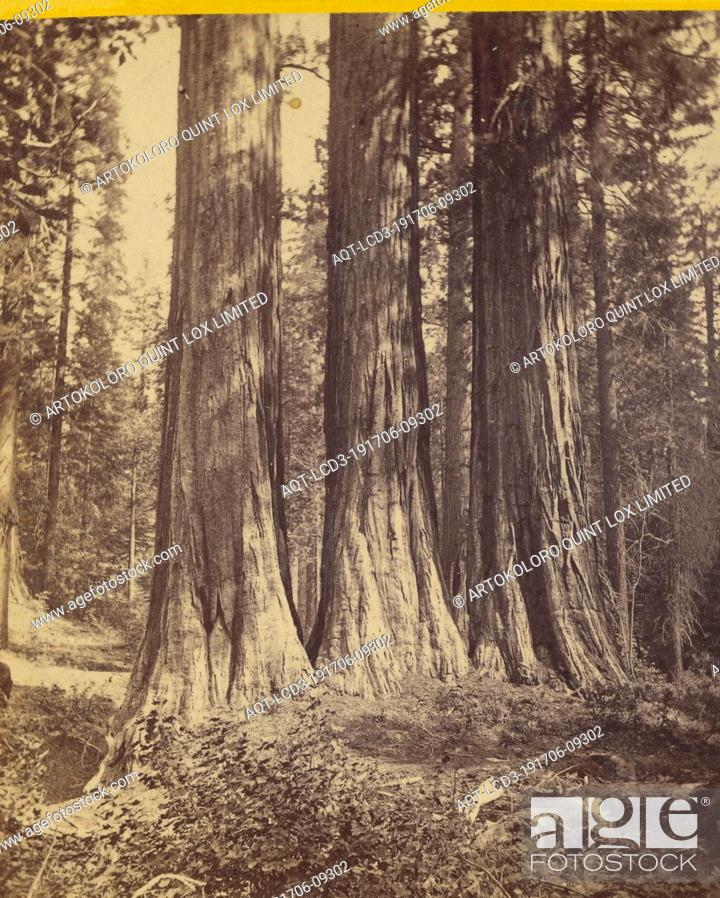 Stock Photo: The Three Graces. Each 25 ft. diameter and 300 ft. high. Mammoth Trees, California, Edward and Henry T. Anthony & Co. (American, 1862 - 1902), about 1869–1873.