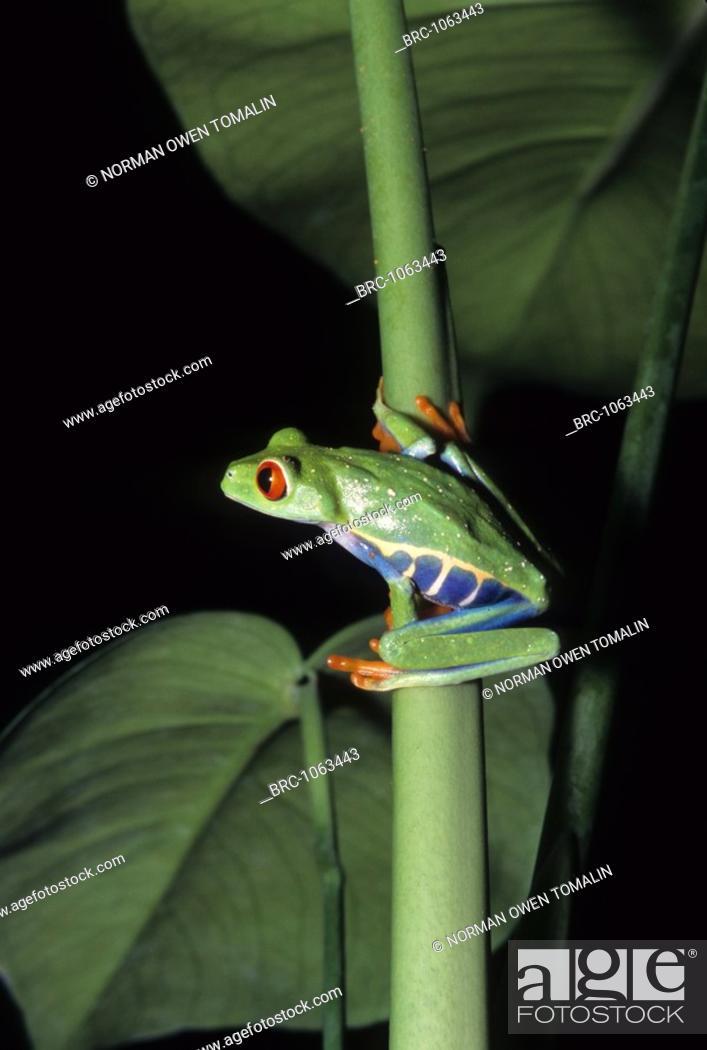 Stock Photo: amphibian, FROG, Red Eyed Tree, Rain Forest, Agalychnis callidryas,.