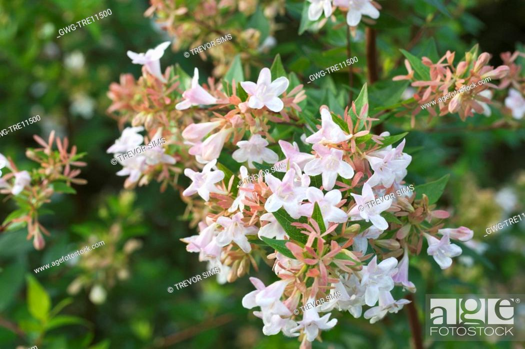 Abelia Chinensis Stock Photo Picture And Rights Managed Image Pic