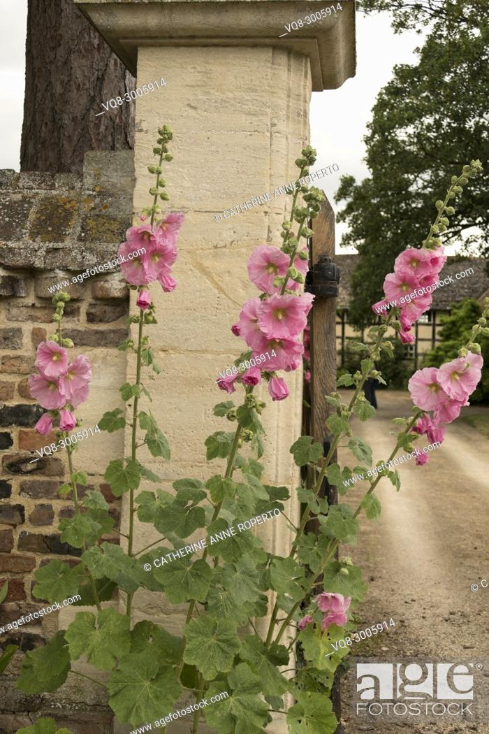 Imagen: Old fashioned pink hollyhock flowers at the stone and brick entrance gateway to The Grange in Frampton on Severn, the Cotswolds, England.