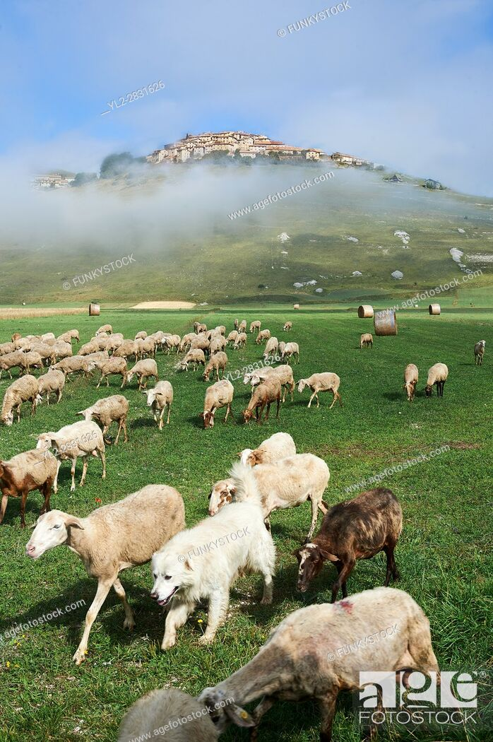 Stock Photo: Sheep on the Piano Grande, Gret Plain, of Castelluccio di Norcia, Parco Nazionale dei Monti Sibillini , Apennine Mountains, Umbria, Italy.