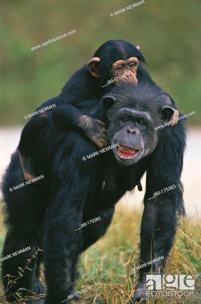 Stock Photo: Chimpanzee (Pan troglodytes).