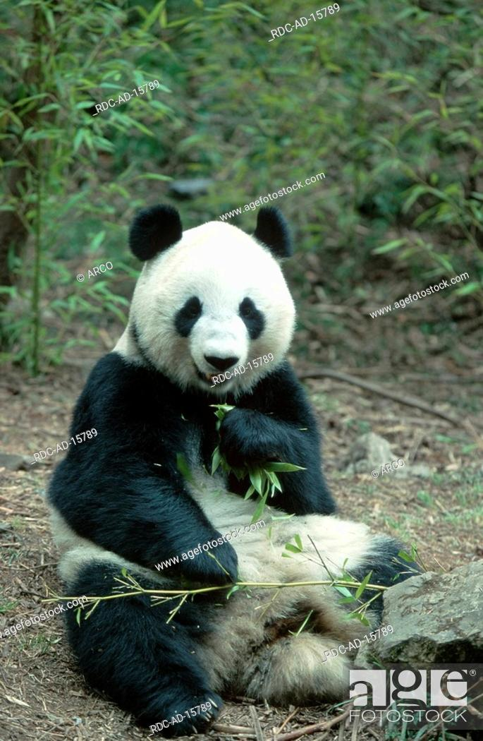 Stock Photo: Giant Panda eating bamboo, Ailuropoda melanoleuca.