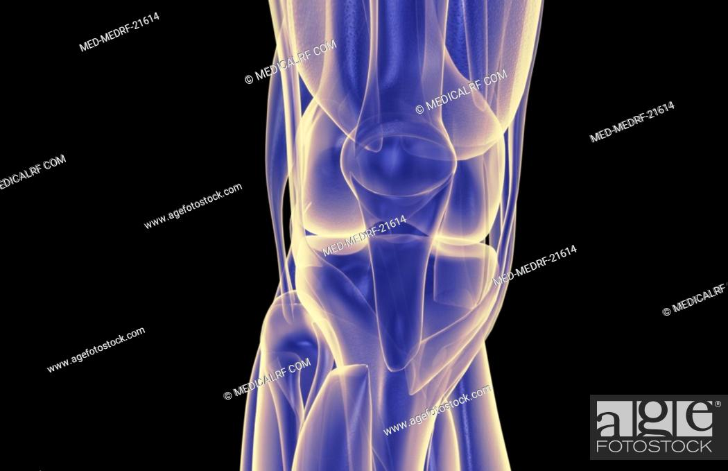 Stock Photo: The muscles of the knee.