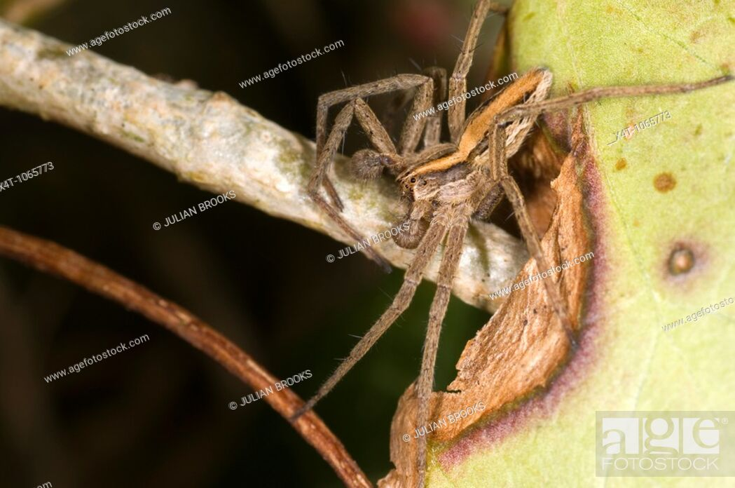 Stock Photo: Extreme close up of the nursery web spider, Pisaura Mirabilis, male.