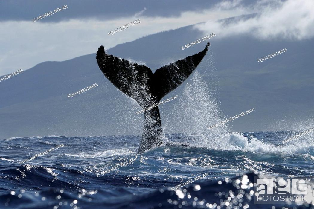 Stock Photo: Humpback Whale Megaptera novaeangliae Tail-lobbing, Auau Channel, Hawaii, North America.