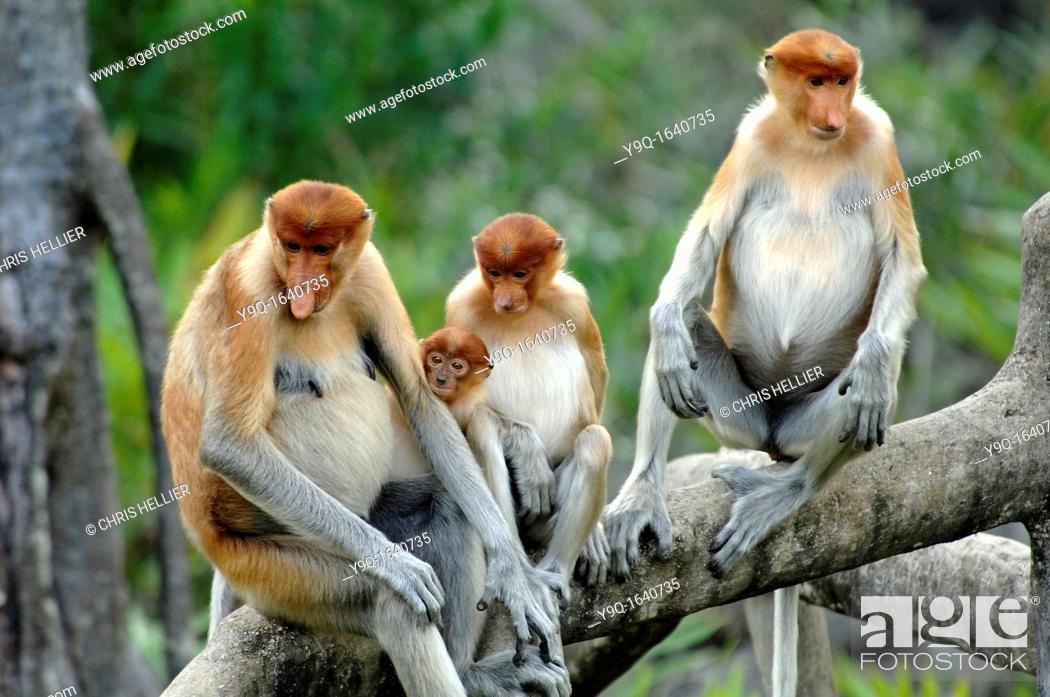 Stock Photo: Proboscis Monkeys Family Group on Branches at Labuk Bay Proboscis Monkey Sanctuary Sabah Borneo Malaysia.