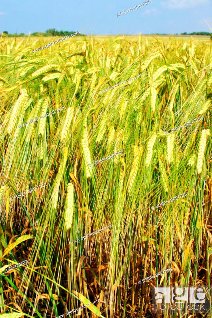 Stock Photo: Barley field in landscape in summer in Denmark, Scandinavia, Northern Europe. (Hordeum vulgare).