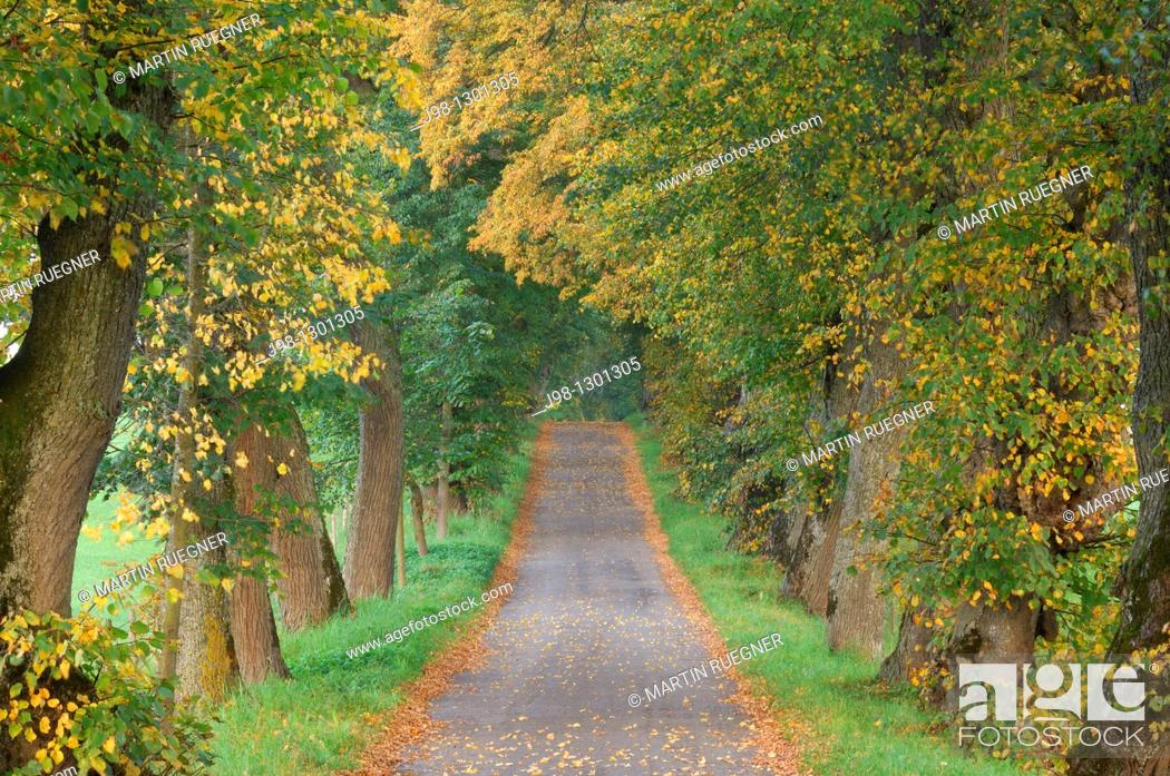 Stock Photo: Treelined footpath or small road alley with old Lime Trees Tilia spec  in autumn  Bavaria, Germany, Europe.