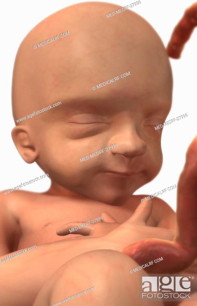 Stock Photo: Embryonic development. Week 24.