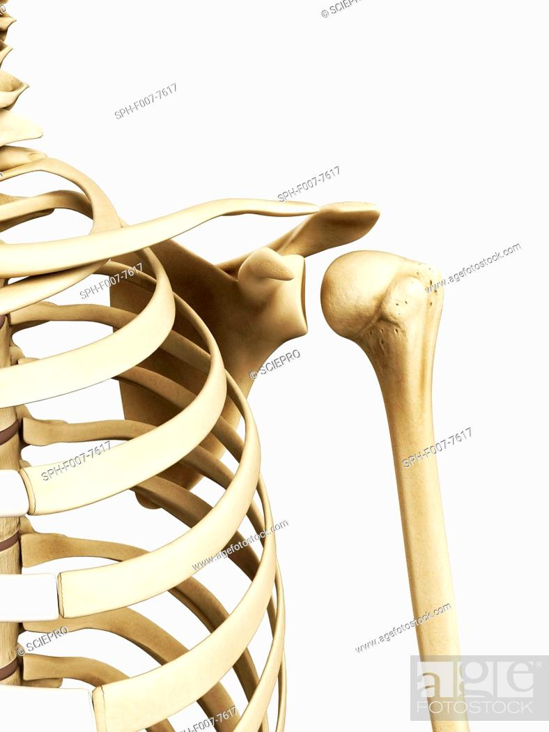 Shoulder Bones Computer Artwork Stock Photo Picture And Royalty