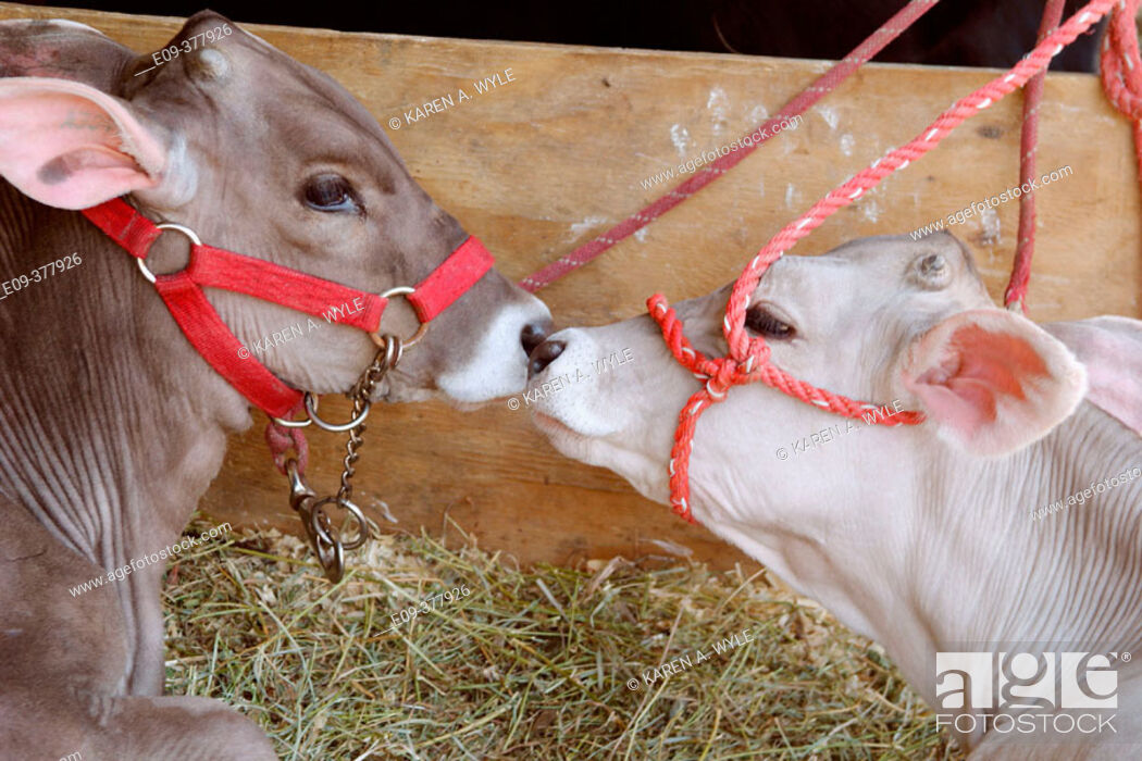 Stock Photo: two calves, gray-brown and white, with red halters, nose to nose in straw in barn at Monroe County Fair, Bloomington, Indiana, USA.