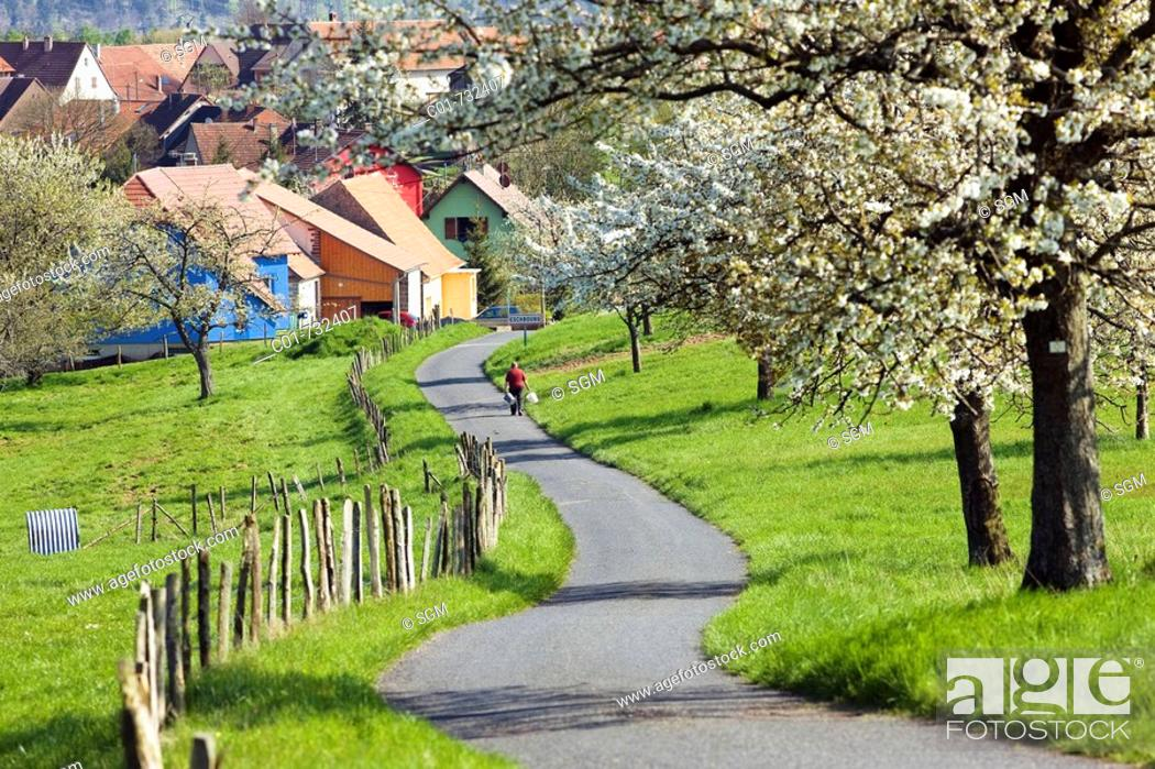 Stock Photo: Man on country road lined with blooming apple trees and village, Alsace, France.