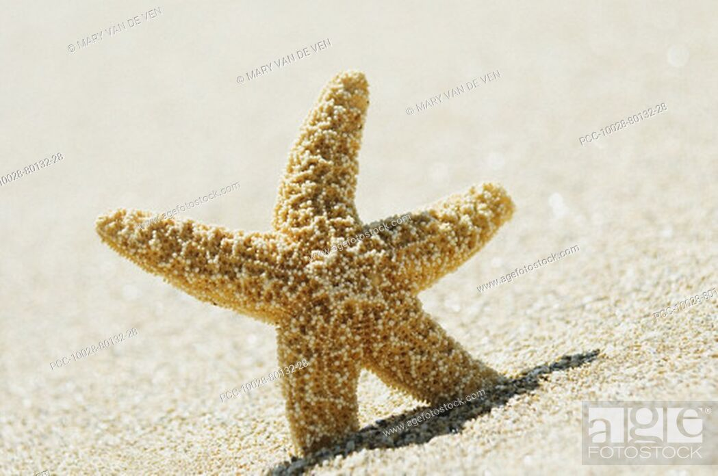 Stock Photo: Orange seastar standing upright in sand.