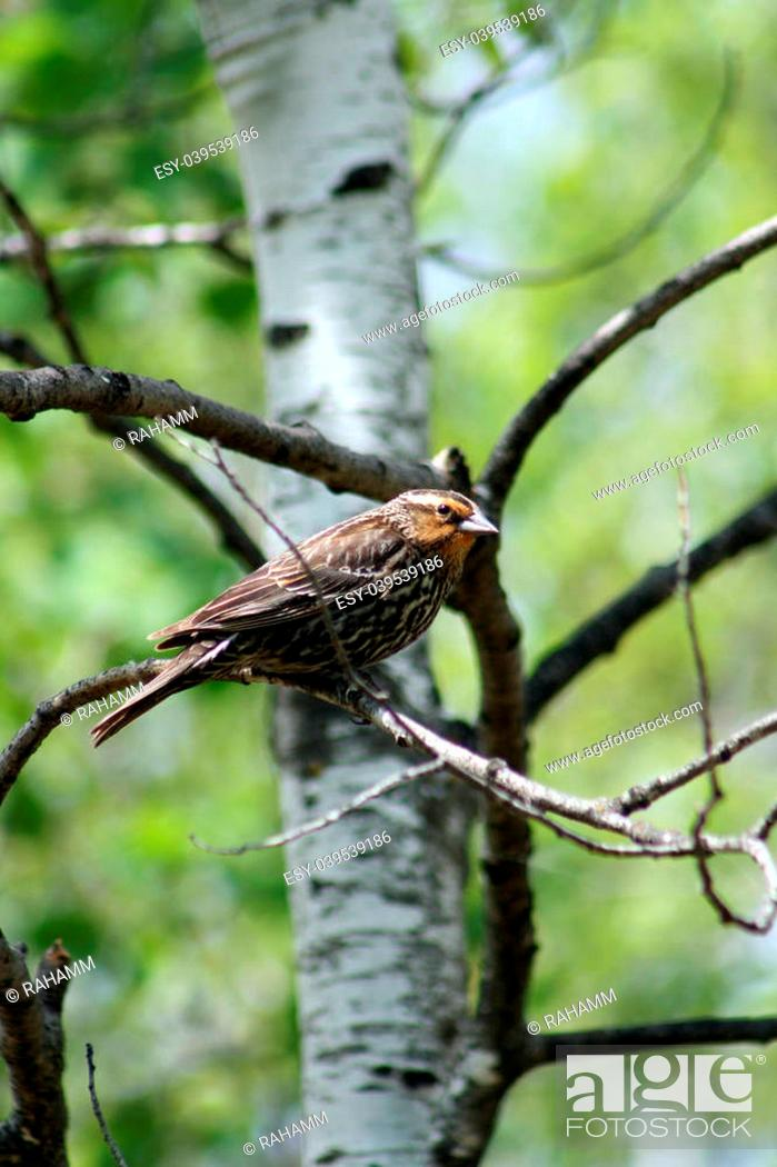 Stock Photo: A female Red Winged Blackbird perched on a branch in a birch tree in spring in Winnipeg, Manitoba, Canada.