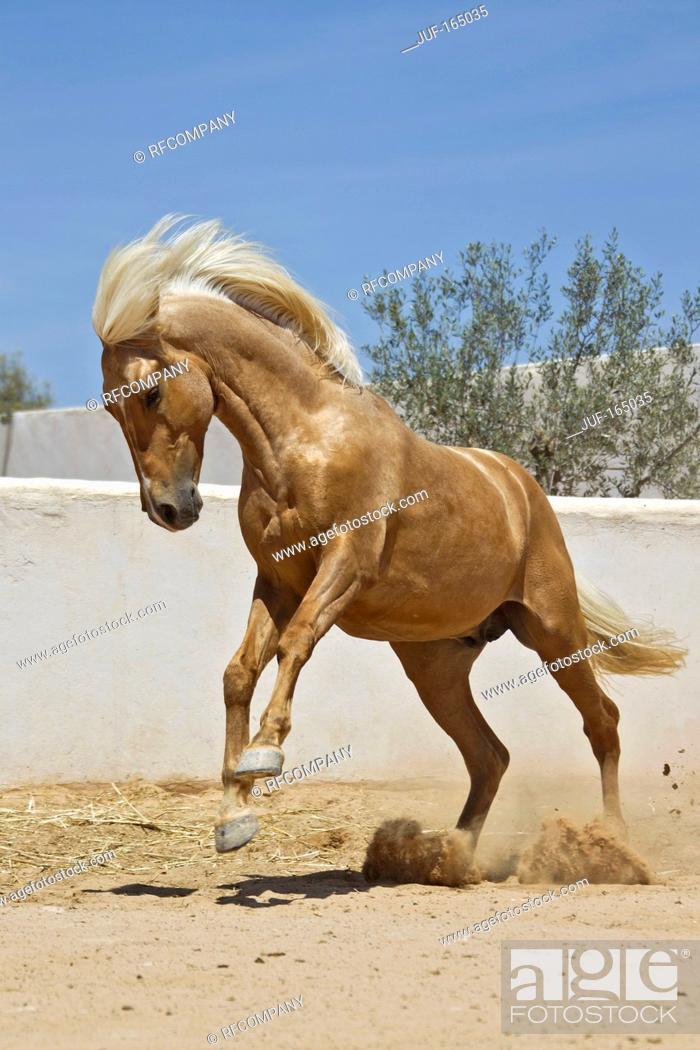 Imagen: Barb horse - jumping.