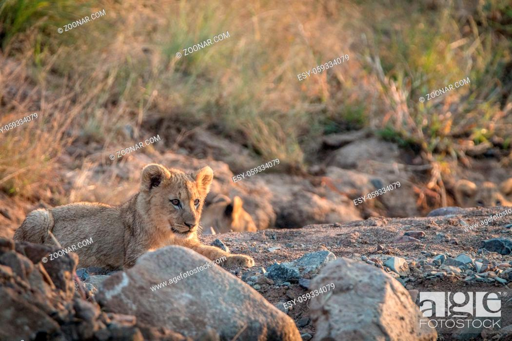 Imagen: Lion cubs laying on the rocks in the Pilanesberg National Park, South Africa.