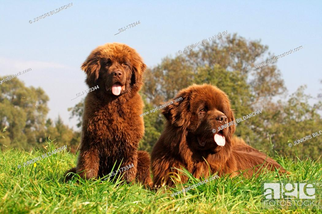 Newfoundland Dog Brown Bitch And A Puppy On A Meadow Stock Photo