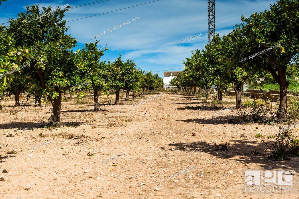 Stock Photo: Orange trees. Valencia. Spain.