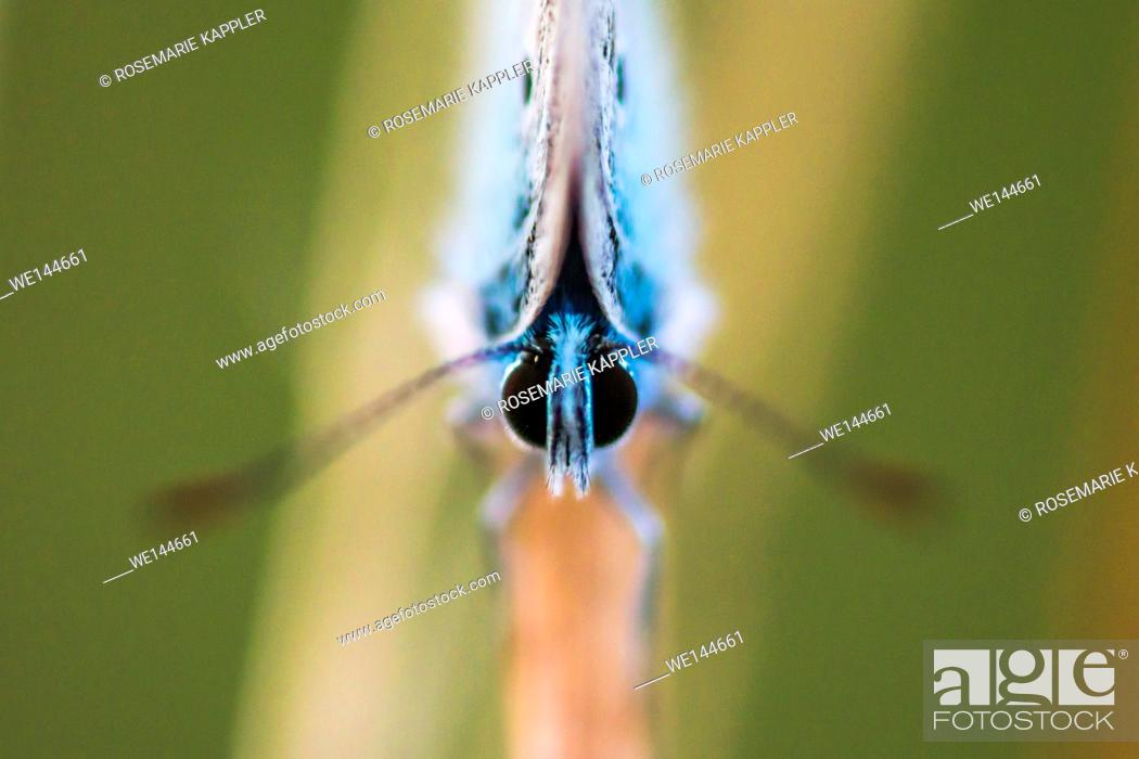 Stock Photo: Germany, Saarland, Bexbach - A common blue is sitting on a grass-stock.