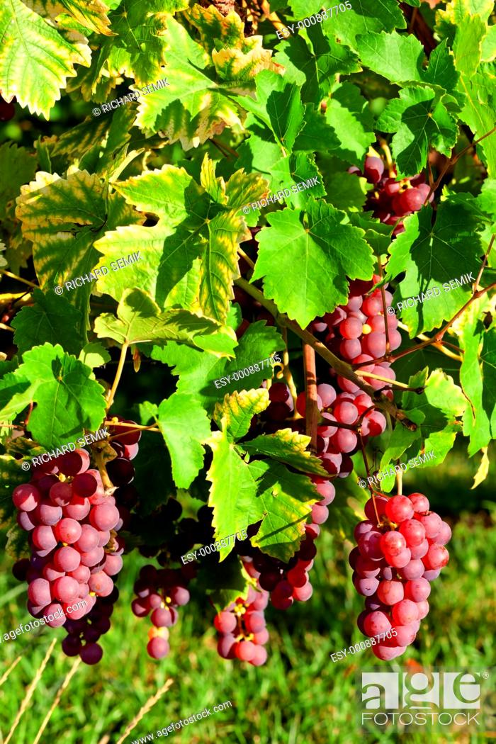 Stock Photo: grapevine in vineyard gewurztraminer, Alsace, France.