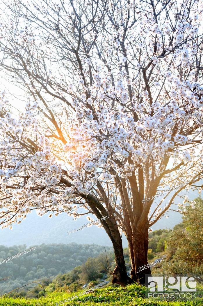 Photo de stock: A blossoming almond tree on Pelion Peninsula, Thessaly, Greece.