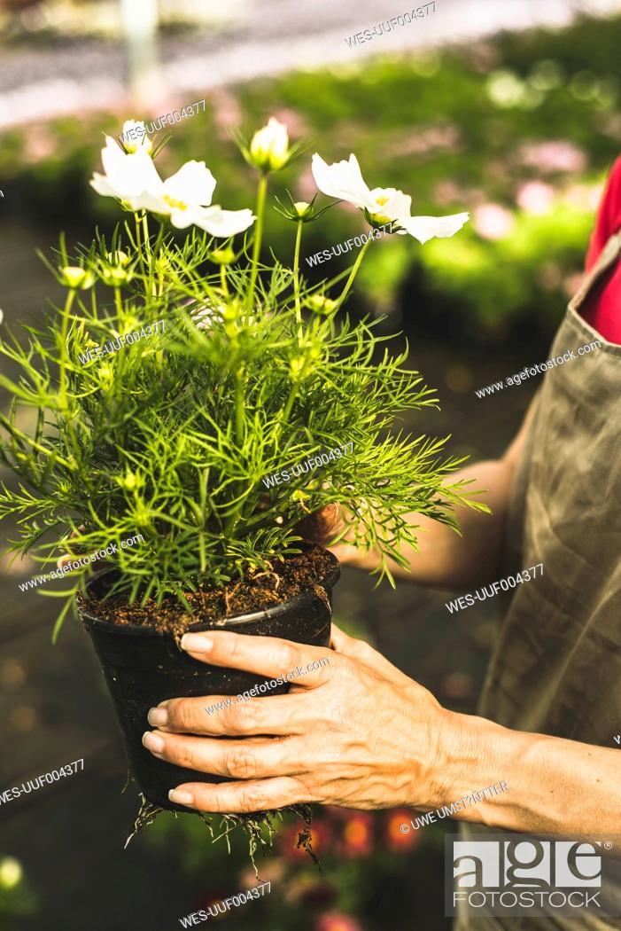 Stock Photo: Woman in nursery holding flower pot.
