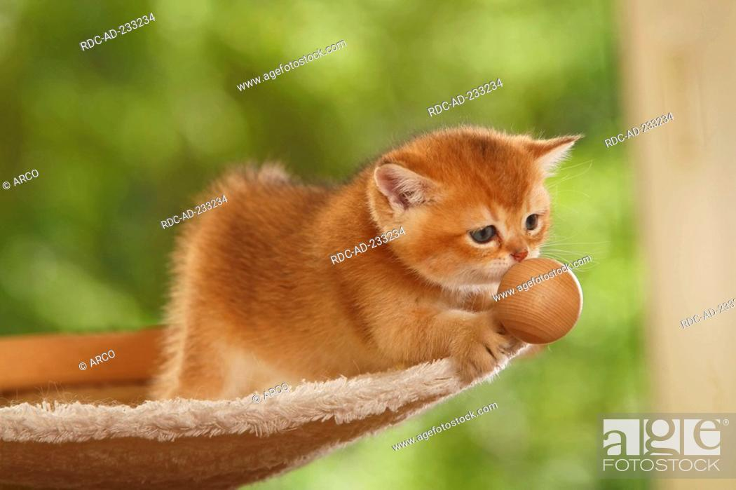 British Shorthair Cat, kitten, golden-ticked-tabby, Stock Photo