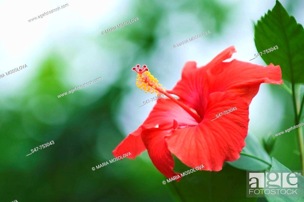 Stock Photo: Red China Rose Bloom. Hibiscus hybrid. May 2008, Maryland, USA.