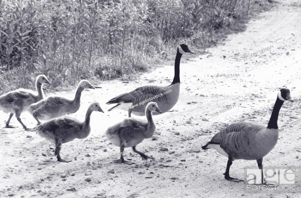 Stock Photo: Family of Canada geese (Branta canadensis), New York, USA.