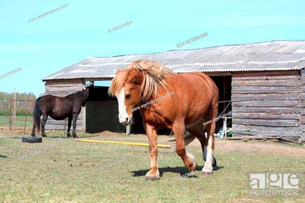 Palomino Draft Horse Trotting At The Field Near The Stable Stock Photo Picture And Low Budget Royalty Free Image Pic Esy 037589288 Agefotostock