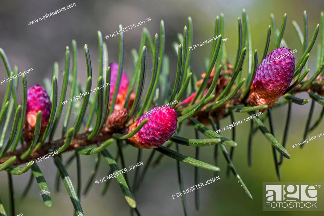 European Silver Fir Abies Alba Close Up Of Male Flowers And