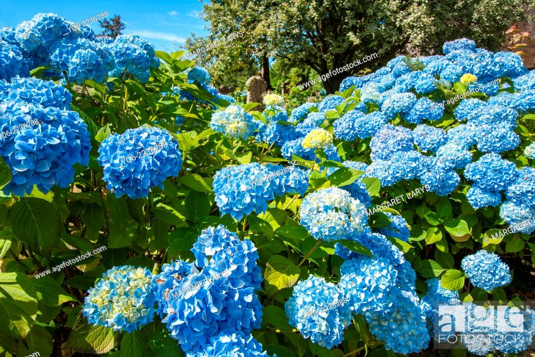 Stock Photo: Blue hydrangea blossom.