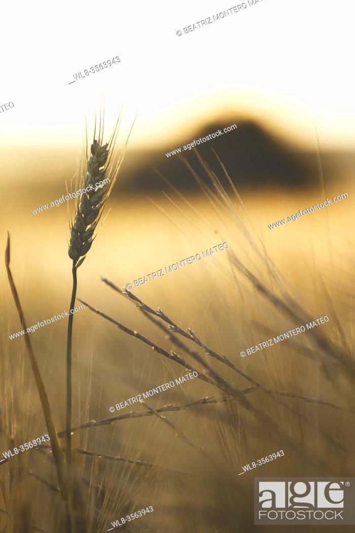 Stock Photo: Wheat detail with grain in Lerma, Burgos (Spain).
