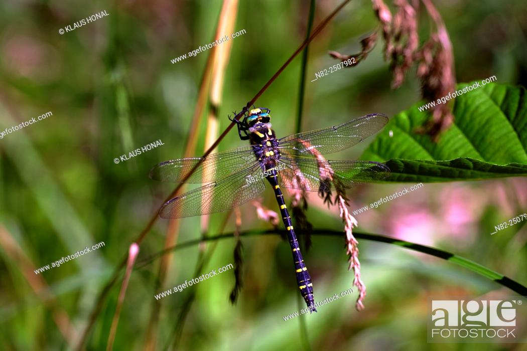 Stock Photo: Golden-ringed Dragonfly Cordulegaster boltoni at a twig. Cordulegaster boltoni is one of the largest domestic dragonflies and lives at small and clean brooks –.