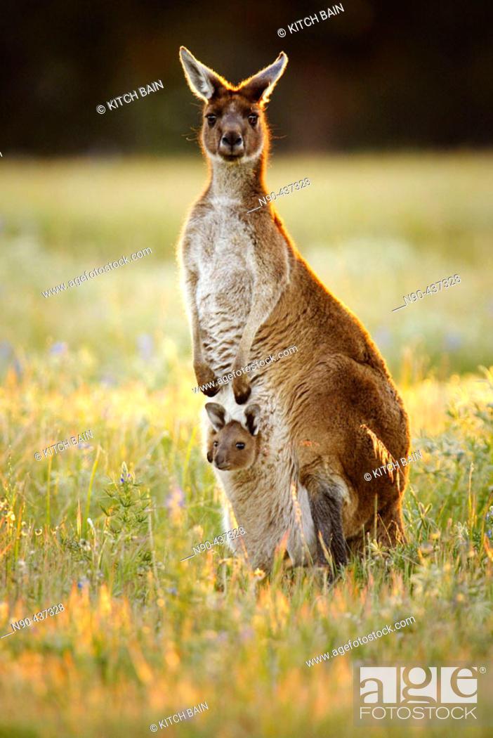 Stock Photo: Australian Kangaroo with Joey in the pouch, Western Australia.