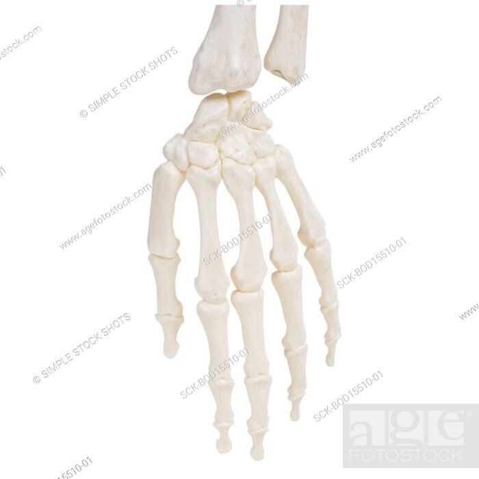 Stock Photo: skeleton.