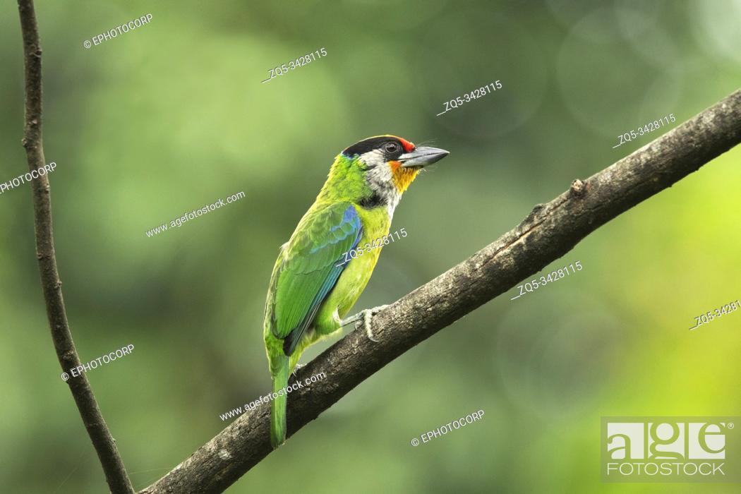 Photo de stock: Golden-throated Barbet, Psilopogon franklinii, Mishmi Hills, Arunachal Pradesh, India.